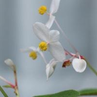 白花シュウメイギク