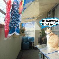 北九州市小倉南区長行東「紫川鯉のぼり」②&🎏ちゃま!来まちた🐈