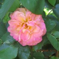 The rose of Anne Frank.