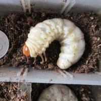 バカデカヒラタ幼虫が採れたというので・・・