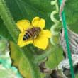 大田区のミツバチ2
