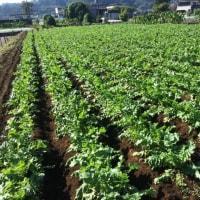 大根収穫体験用の畑はこちらです