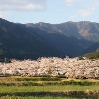 桜の時期は終わったと思いましたが…