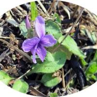 田島ケ原サクラソウ自生地でサクラソウの花に今シーズン初見参です