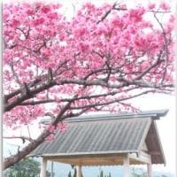 #桜前線2017 桜ドライブ 奄美大島 大和村 宇検村 写真22枚
