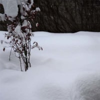 紫草(日本ムラサキ)の種、雪中保存