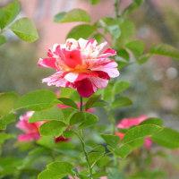 秋のバラは色が濃いので好きです