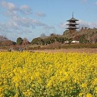 備中国分寺の菜の花 (1月14日)
