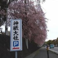 Shidare-zakura or Weeping Cherry Trees