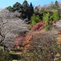 川見四季桜2016