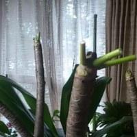 プルメリアの新芽が動き出してしまいました