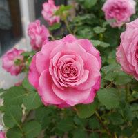 本日のバラ5 〜アニエスシリジェル