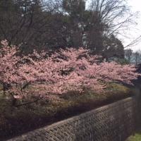昭和記念公園春、梅から桜へ