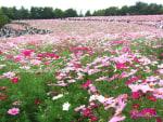 パンパスグラスとコスモスで秋を感じる昭和記念公園