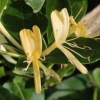 スイカズラ(スイカズラ科・スイカズラ属)半常緑つる性木本