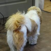 暑苦しい!シーツー、飼い主のプロの理容師も手が出せない特殊技術のいるカット。中国の抱き犬、日本ではシーズー