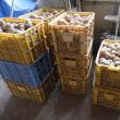 日曜日から雨続き…に、間に合ったキタアカリの収穫!!