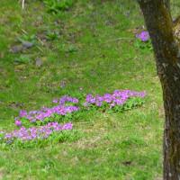サクラソウ輝く蓼科で森の風撫でる露天に浸かる。