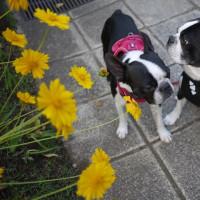 黄色い花と黒いハナ!