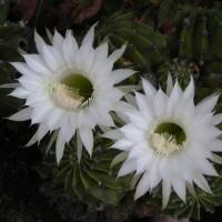 玉サボテンの花