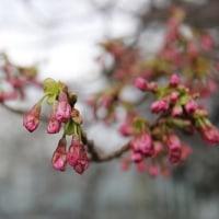 桜の開花の前に・・・・