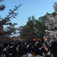 4/16 Sun 桜の通り抜け その2