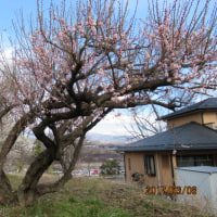梅の整枝作業を。