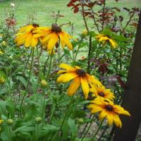 貴重な黄色 ルドベキアの花