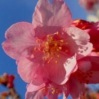 河津桜 & 浜松ぎょうざ & 赤から♪