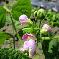 インゲン豆のお花にツユムシ