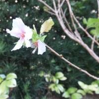 今咲いています。季節外れの山桜 そして秋桜(コスモス)