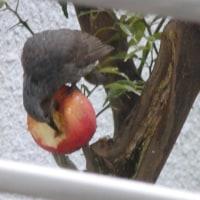 小鳥に食事