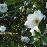 たくさん咲いてくれます バラのアイスバーグ