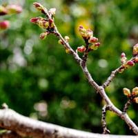 さぶ~~!!サクラはまだ・・開花を待つ花三種、ササベザクラ他