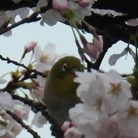 桜と野鳥たち~~