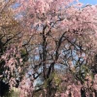 「桜三昧」