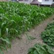 次に収穫するトウモロコシは穂先がむき出しになりそうです