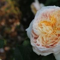 バラ祭りは18日(日)まで開催しています。