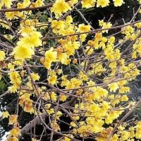 花々が咲いて季節がめぐる(1)今年もロウバイと梅から始まる
