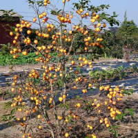 浮羽の柿  2016