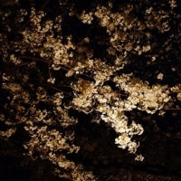 【京都府立植物園】第12回桜ライトアップ開催のお知らせ(2017年3月25日~4月9日)