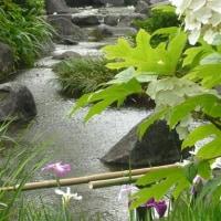 柏葉紫陽花のヒミツ!?