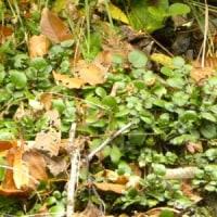 林縁の崖にオランダガラシの緑