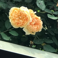 プリンセスマリーは、つるバラ