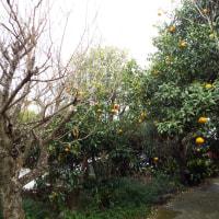 自坊境内で、 ハッサク蜜柑 山ほど収穫!!