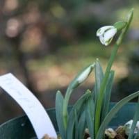 トランプス、スノードロップ(ガランサス)花..