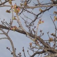 桜がピンク色に(*^-^*)