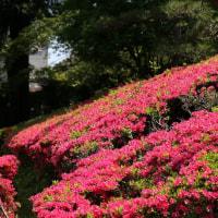 高尾みころも霊園  つつじの花と亀さん!