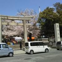 三島大社の桜