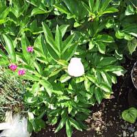 庭の芍薬の蕾